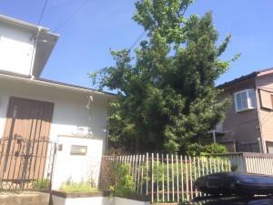 桜とマキの木施工前