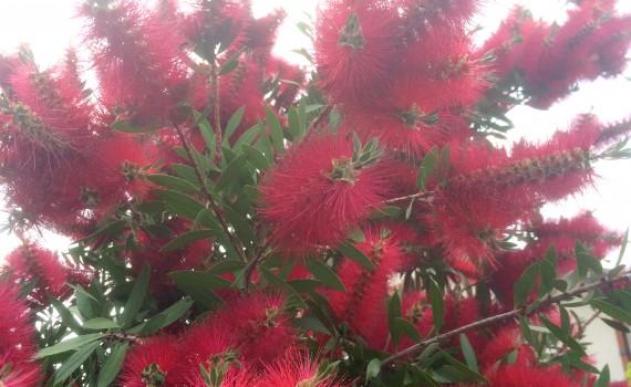 ブラシの木の花