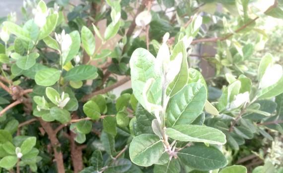 フェイジョアの葉