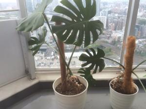 2つの鉢に植えなおされたモンステラ
