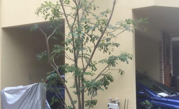 剪定後のシマトネリコ。 光と風が木の内部まで届くようになりました。