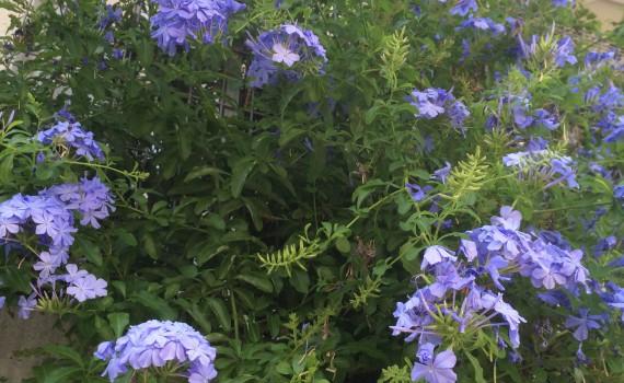 ルリマツリ プルンバーゴの花