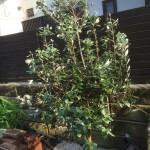 お庭側に植えたフェイジョア