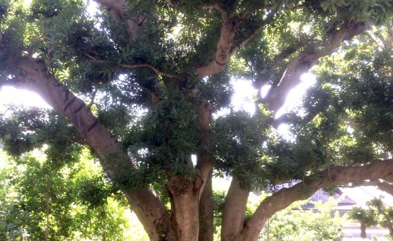 伊豆高原駅のヤマモモの木