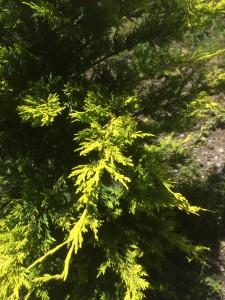 コニファー ゴールドライダーの葉