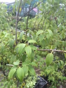 常緑樹だが繊細な雰囲気を持つハイノキの葉